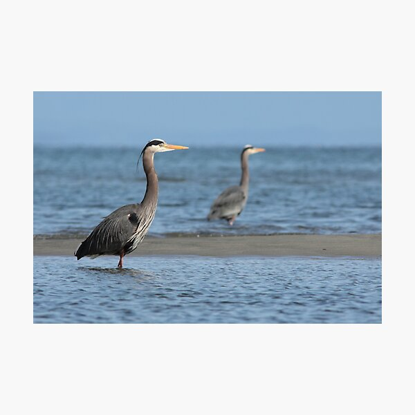Two Herons Photographic Print