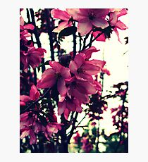 Pink Blooms - Spring in New England Photographic Print