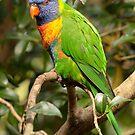 Rainbow Lorikeet - Trichoglossus haematodus by Andrew Trevor-Jones