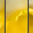 Daffodil by Anna Creedon