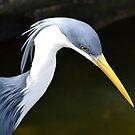 Pied Heron by Deborah Clearwater