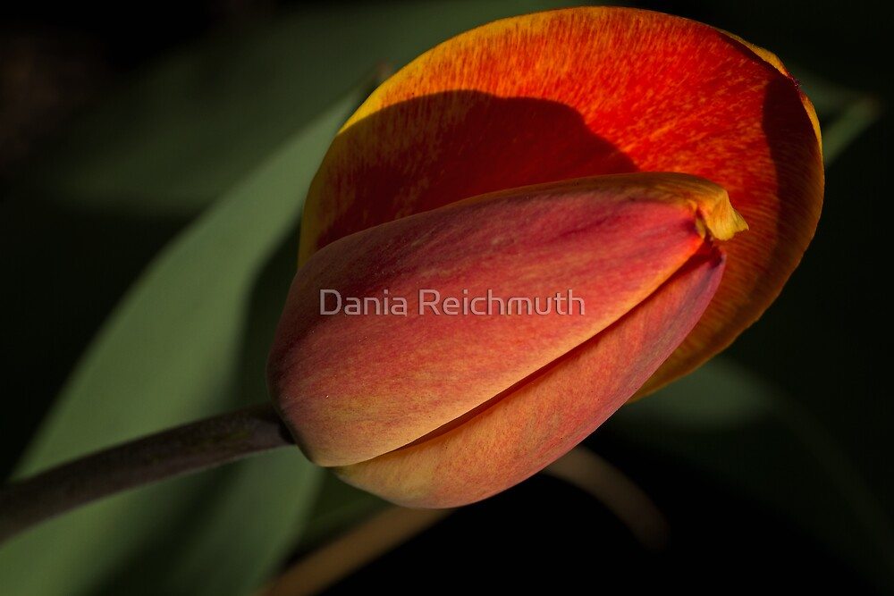 Tulpe by Dania Reichmuth