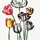 Tulips very old illustration by hypnotzd