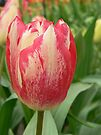 tulip sweet by LisaBeth