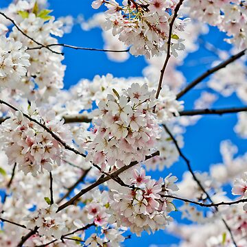 Cherry Blossoms 01 by Fergyphotos