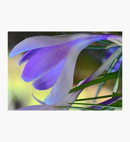 Lavender Crocus - After The Snowstorm Photographic Print