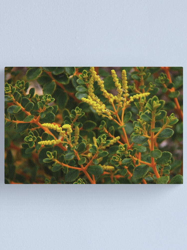 Alternate view of Physopsis chrysophylla Canvas Print