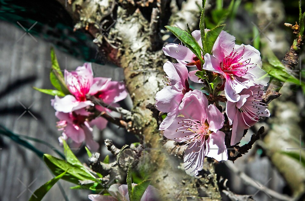 Peach Tree in Bloom by Heather Friedman