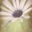 Gazania Daisy by Beth Mason