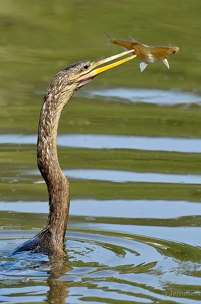 Anhinga Catches Fish by Joe Jennelle