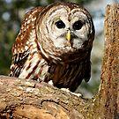 Barred Owl by Lolabud
