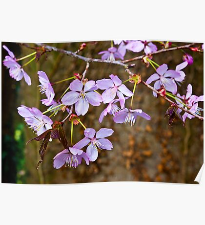 Cherry Blossom  (Spring) #2 Poster