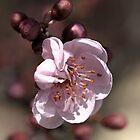 Soft as Blossom by Joy Watson