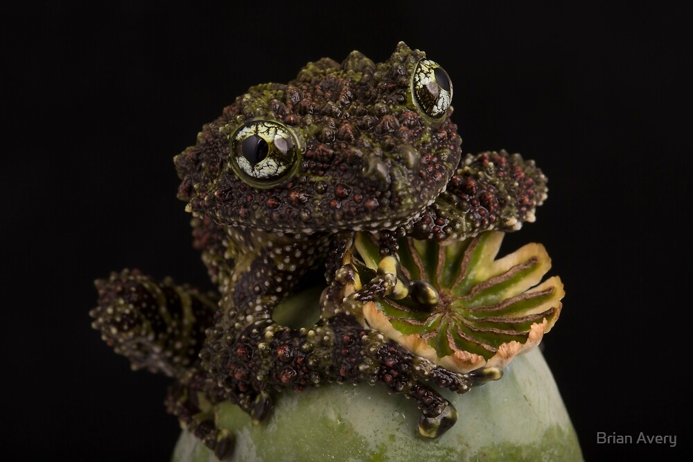 Vietnamese Mossy Frog by Brian Avery