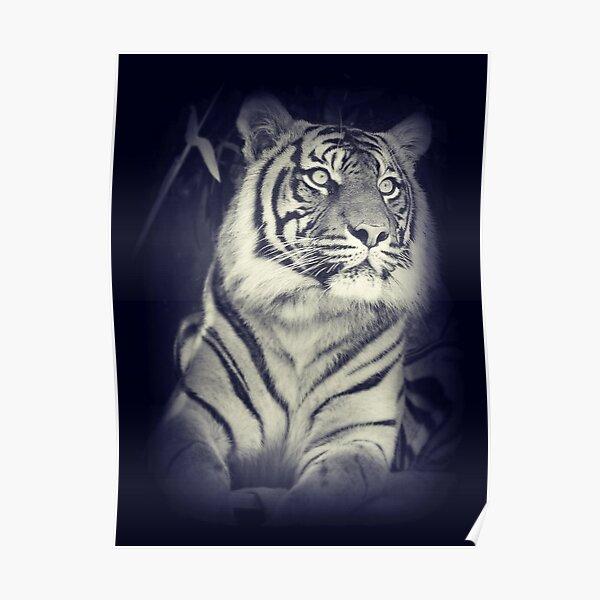 Black & White Sumatran Tiger Poster