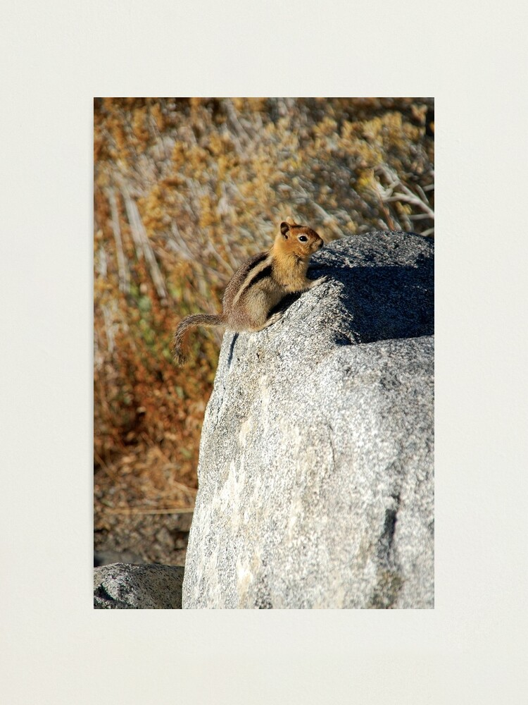 Alternate view of Golden-mantled Ground Squirrel Photographic Print