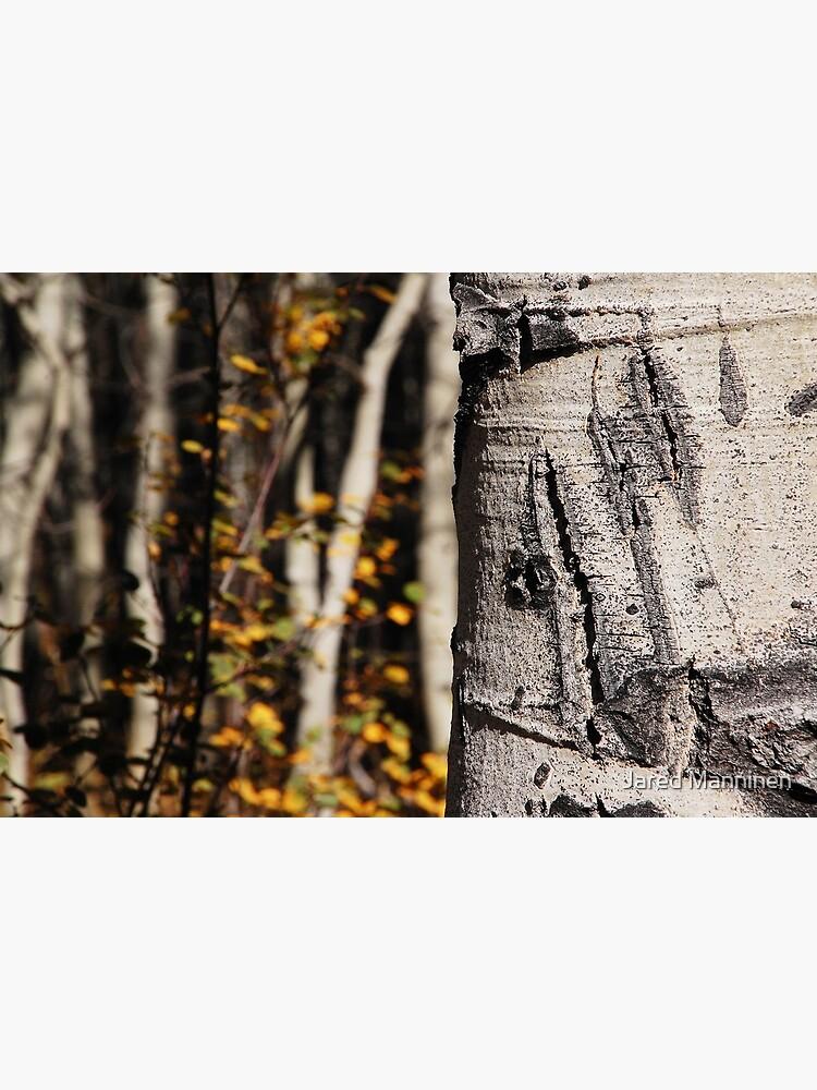 Bear Claw Scratch on Quaking Aspen by JaredManninen