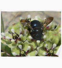 Large Carpenter Bee (Xylocopa) - Female    Poster