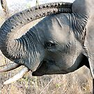 Young Elephant by Michael  Moss
