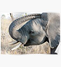 Young Elephant Poster