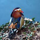 Mandarin Duck by sstarlightss