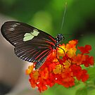 Sara longwing butterfly by Anthony Goldman