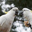Friendly Cockatoo's  by JohnBoyzo