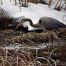 Blue Heron Hunting by Justin Atkins