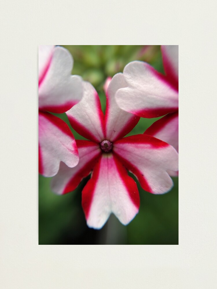 Alternate view of Pink Stripes Photographic Print