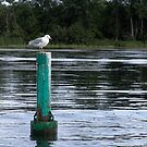 Seagull Standing Guard On The Rideau River by Don White