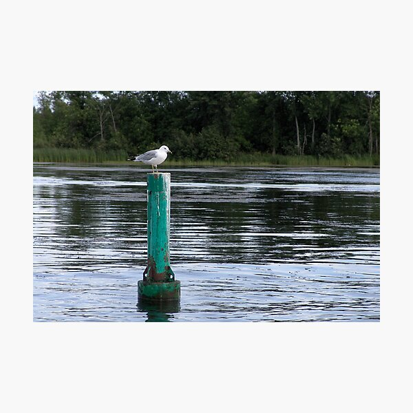 Seagull Standing Guard On The Rideau River Photographic Print