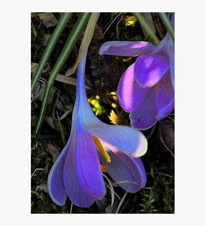 Crocus - Fading Beauty Photographic Print