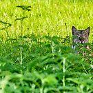 Bobcat by MKWhite