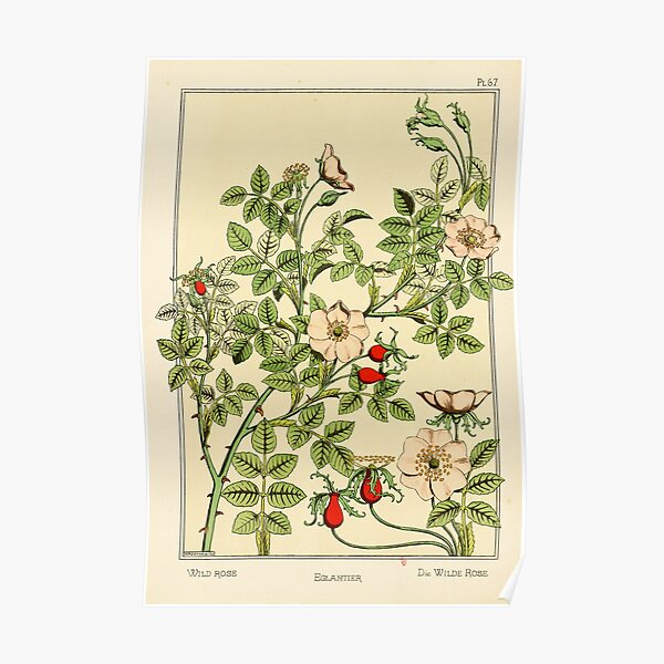 French botanical flower plate - Maurice Verneuil - Eglantier Poster