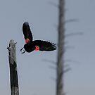 Red-Winged Blackbird - In Flight #1 by Benjamin Brauer