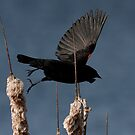 Red-Winged Blackbird - In Flight #2 by Benjamin Brauer