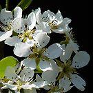 Conference Pear Blossom. by artfulvistas