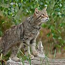 Scottish Wildcat (Felis Sylvestris) by Foxfire