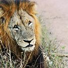 Resting male lion by Anthony Goldman