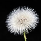 Dandelion  by Phil Campus