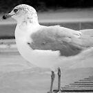 Gull in Black & White by BonnieToll