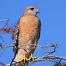Red-shouldered Hawk by naturalnomad
