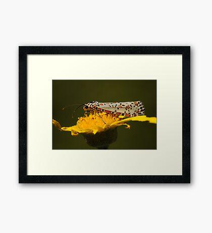 Heliotrope Moth  Framed Print