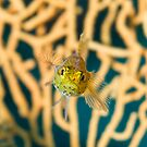 Mediterranean Blenny Macro by Gorden