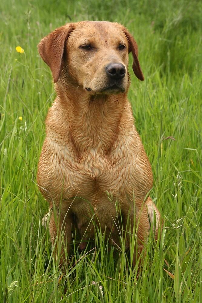 Sandy, my beautiful labrador retriever by michaelwallwork