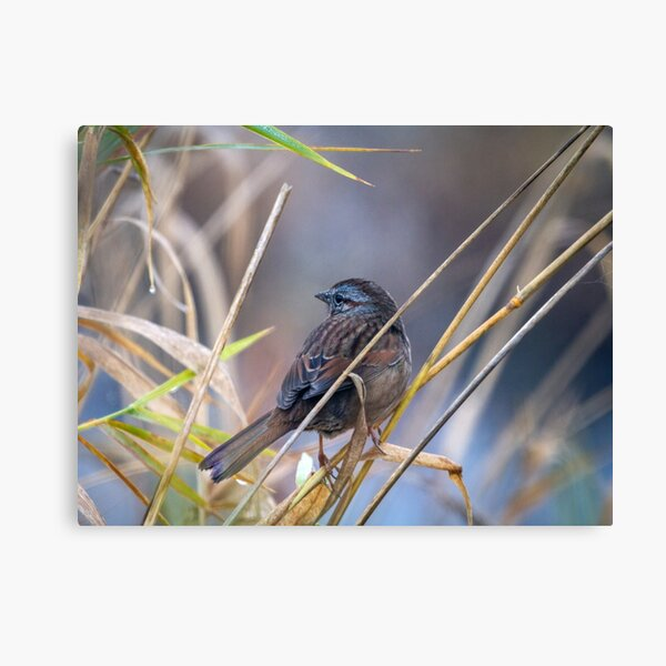 Winter Sparrow Canvas Print