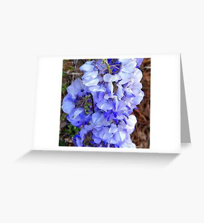 Wisteria Blooms 2 Greeting Card