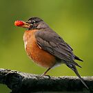 American Robin by Martin Smart