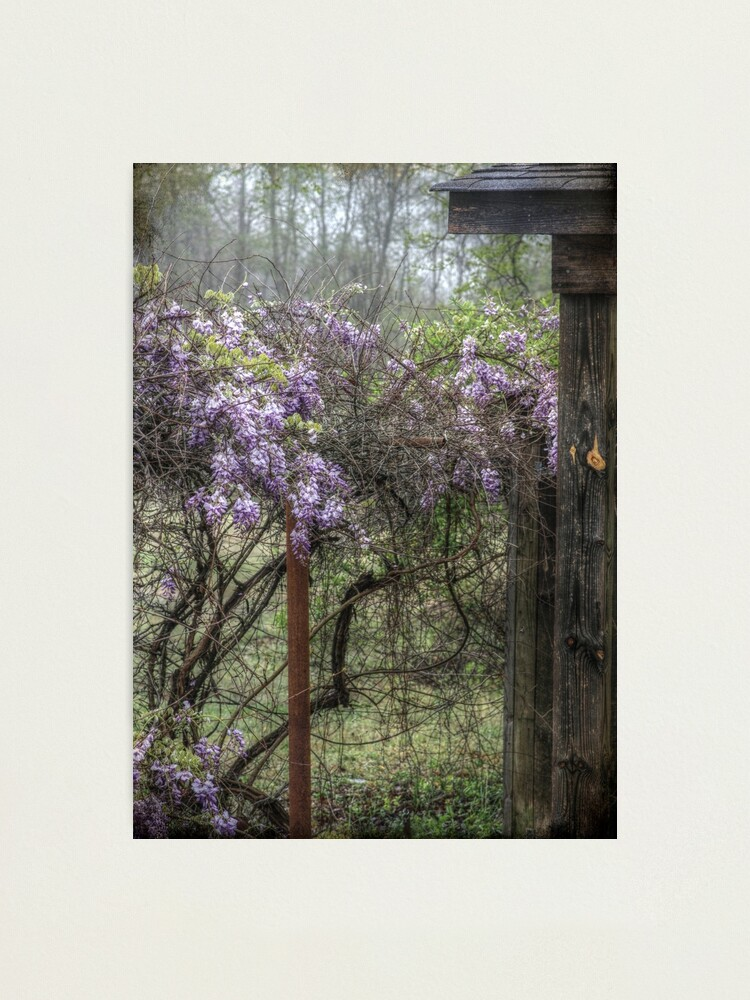Alternate view of Morning Mist and Wisteria Photographic Print