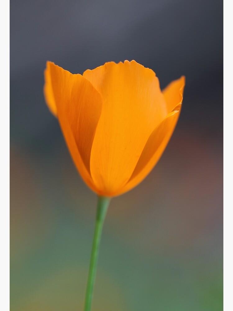 Tufted Poppy by yosemiteHikes